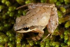 Upland Chorus Frog (Pseudacris feriarum) (Ian Deery) Tags: fieldguide closeup macro 70mm a55 sigma sony nature herping herp frogs amphibian hylidae upland frog chorus feriarum pseudacris