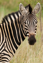 Zebra Profile (DeniseKImages) Tags: wildlife africa zebra grass southafrica nature wild animal animals wildanimals wildanimal