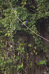 Blue-headed parrot (Kusi Seminario) Tags: loro parrot bird birdwatching birding colpa clayleak rainforest selva jungle amazon amazonia peru southamerica madrededios nature outdoors wildlife