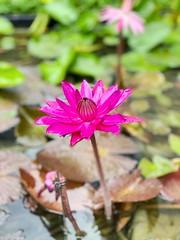 Lotus bloom in Raina #lotus #rains (Swami Stream) Tags: explore lotus rains