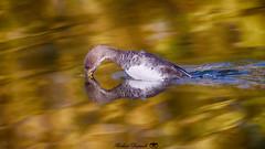 Le Baiser Harle couronné femelle parc Angrignon le 21 oct 2019 (Richard Dussault) Tags: canard duck harle water park parc eaux nature