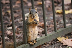 132/366/4149 (October 21, 2019) - Juvenile and Adult Fox Squirrels in Ann Arbor at the University of Michigan - October 21st, 2019 (cseeman) Tags: gobluesquirrels squirrels foxsquirrels easternfoxsquirrels michiganfoxsquirrels universityofmichiganfoxsquirrels annarbor michigan animal campus universityofmichigan umsquirrels10212019 autumn fall eating peanuts octoberumsquirrel juvenilesquirrels juvenilefoxsquirrels juveniles mange squirrelmange squirreltreatment peterlafleur 2019project365coreys yeartwelveproject365coreys project365 p365cs102019 356project2019