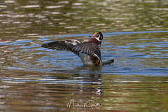 Flapping Woody (NikonDigifan) Tags: woodduck duck birdwatching bird animal nature naturephotography naturesfinest wildlife wildlifephotography nikond850 nikon nikon20050056 mikegassphotography