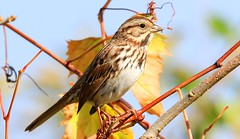 song sparrow at Crane Creek WMA IA 653A8886 (naturalist@winneshiekwild.com) Tags: song sparrow crane creek wma howard county iowa larry reis