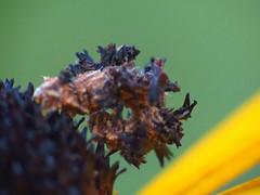 Camouflaged Looper Caterpillar (BlueRidgeKitties) Tags: westernnorthcarolina southernappalachians syncloraaerata camouflagedlooper caterpillar orangeconeflower rudbeckiafulgida