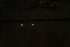 Hardheads (Ian Hearn Photography) Tags: spotlight nature wildlife photography nikon d500 ian hearn photographer duck hardhead birds australia nsw sew south wales morning magic hour golden light shadows young teenage photographers 200500 nikkor aythya australis ianhearncom waterfowl