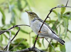 Blackpoll Warbler (Mary Sonis) Tags: bird warbler wildlife nature migration