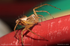 Brickface (Oxyopidae - Lynx spider) (srkirad) Tags: animal insect spider oxyopidae lynxspider macro closeup bokeh blur dof depthoffield helios 442 m42 manualfocus macrotube vivid colorful orange