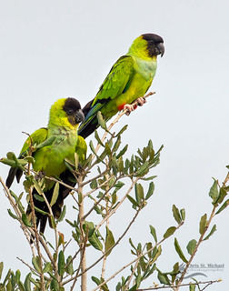 Black Hooded Parakeets