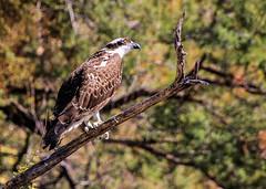 Osprey (Buck--Fever) Tags: osprey arizona arizonawonders earthnaturelife birds bartlettlakearizona wildlife arizonawildlife canon60d tamron18400lens telephoto arizonadesert nature