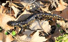 eastern tiger salamander near Lime Springs IA 653A8609 (naturalist@winneshiekwild.com) Tags: eastern tiger salamander lime springs howard county iowa larry reis