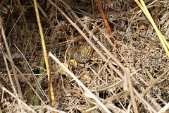 Vipera Berus (ChristianMoss) Tags: vipera berus basking snake adder reptile