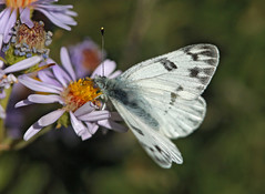 Checkered White (Pontia protodice) (Ron Wolf) Tags: checkeredwhite leadville lepidoptera pieridae pontiaprotodice rockymountains butterfly female insect macro montane nature wildlife colorado