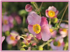 Flirty Girls (bigbrowneyez) Tags: flowers blossoms lovely delightful japaneseanemone beautiful striking dof bokeh fabulous pretty flirtygirls nature natura fiori fleur bellissimi belli petals gorgeous fresh buds fantastic october pink mygarden miogiardino foto bello rich elegant delicate soft dreamy adorable sweet dolce special ottawa canada light sunny luce