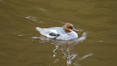 Against a powerful current: goosanders, Bridgnorth (Dave_A_2007) Tags: mergusmerganser bird duck goosander nature wildlife