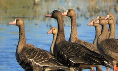 Winter Is Coming: The White-Fronted Geese are here! (Ruby 2417) Tags: geese goose bird wildlife nature winter migration fall colusa refuge marsh wetland wetlands water