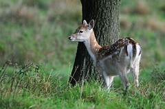 Fallow Fawn (andy_AHG) Tags: wildlife autumn stag fallowdeerbuck antlers animals nikond300s yorkshire fawn