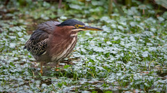 Being Green (TW Olympia) Tags: crystal springs rhododendron garden green heron portland oregon