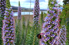 Bee Inspired (Lani Elliott) Tags: insect bee bumblebee scene scenic flower flowers water scenictasmania purple mauve bokeh background echium prideofmadeira spires textures plants perennial