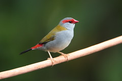 Red-browed Finch (Neochmia temporalis) (Graham Winterflood) Tags: bird redbrowedfinch neochmiatemporalis canoneos7dmarkii geo:country=australia