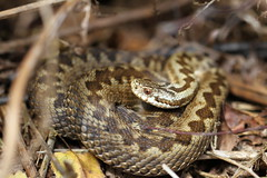 October female adder. (ChristianMoss) Tags: vipera berus basking snake adder reptile october