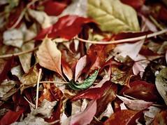 het laatste groene blaadje (delnaet) Tags: fantasticnature autumn herfst oktober octobre bladeren leafs feuilles