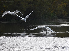 Three stages of flight (Jason Prince Photography) Tags: nikon d7200 deans eliburn reservoir west lothian jason prince photography october 2019 mute swan british wildlife waterfowl scotland sigma telephoto 150mm 600mm monopod