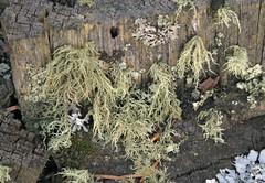 Powdered Beard Lichen (Usnea lapponica) (Ron Wolf) Tags: nationalpark parmeliaceae powderedbeardlichen rockymountainnationalpark usnealapponica lichen nature colorado