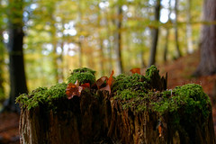 Herbstfarben (Rainer M. Ritz) Tags: wald herbstspaziergang moos blätter rundumherrenberg bäume