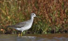 Greater Yellowlegs (hd.niel) Tags: greateryellowlegs shorebirds migration stream marsh fall ontario nature photos wildlife photography wading
