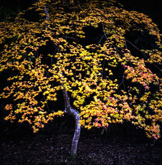 Autumn in Kyoto (Nobusuma) Tags: hasselblad500cm hasselblad zeissplanar80mmf28 80mm f28 mediumformat film analog fall autumn yellow kyoto japan tree fuji fujifilm proh 160asa ハッセルブラッド 中判写真 カラーフィルム フジフィルム 日本 関西 京都 秋 紅葉