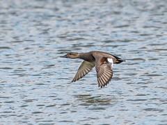 Trumpeter swan (mikedoylepics) Tags: gadwall birds wwtarundel wwt arundelwildlifewetlandstrust arundelwwt wildlife sussex westsussex