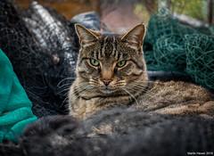 Freddie (Martin Hewer) Tags: martinhewerphotography topcat tabby portrait cat