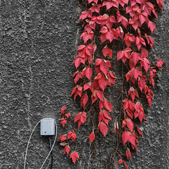 red leaves (j.p.yef) Tags: peterfey jpyef yef photomanipulation leaves redwall seasons autumn selectivecolor square
