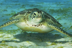 Friendly Green Sea Turtle