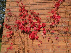 Autumn colour in Preston (Tony Worrall) Tags: preston prestonian color colourful autumn fall 🍂 leaves grow red fallenleaves season seasonal lancashire north northwest english nature natural shapes plants life buy sell sale bought item stock ilobsterit instagram photohour photography photooftheday nice shades timeofyear