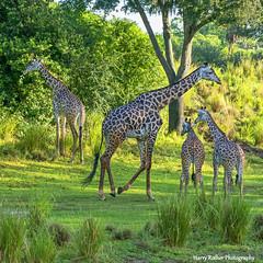 A Tower or Group of Masai Giraffes (Harry Rother) Tags: animal mammal giraffe giraffes tower kilimanjarosafari safari disney