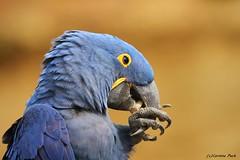 Ara hyacinthe (Passion Animaux & Photos) Tags: ara hyacinthe hyacinth macaw bioparc douelafontaine