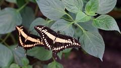 DSC09845 (Fotofreaky2013-BUSY) Tags: orchideeënhoeve luttelgeest macro vlinder butterfly vlindertuin