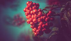 Rowan berries (Dhina A) Tags: sony a7rii ilce7rm2 a7r2 a7r tamron sp 500mm f8 tamronsp500mmf8 prime ad2 adaptall2 mirrorlens 55bb catadioptric reflex cf tele macro manualfocus rowan berries autumn cinematic