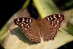 Junonia lemonias - the Lemon Pansy (BugsAlive) Tags: butterfly mariposa papillon farfalla 蝴蝶 dagvlinder 自然 schmetterling бабочка conbướm ผีเสื้อ animal outdoor insects insect lepidoptera macro nature nymphalidae junonialemonias lemonpansy nymphalinae wildlife lamnamkoknp ผีเสื้อในประเทศไทย chiangrai liveinsects thailand thailandbutterflies bugsalive ผีเสื้อแพนซีสีตาล
