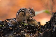 ''L'ailletement!'' Tamia rayé (pascaleforest) Tags: canada quebec faune wildlife wild nature nikon passion animal