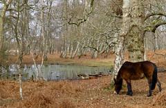 New Forest NP, Hampshire, UK (east med wanderer) Tags: england hampshire newforestnationalpark pony pond silverbirches oak