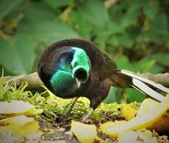 Ribbon-tailed Astrapia male. (Astrapia mayeri) (gailhampshire) Tags: papua new guinea ribbontailed astrapia male mayeri taxonomy:binomial=astrapiamayeri