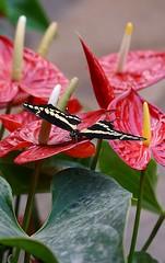 DSC09652 (Fotofreaky2013-BUSY) Tags: butterfly vlinder orchideeënhoeve luttelgeest vlindertuin macro