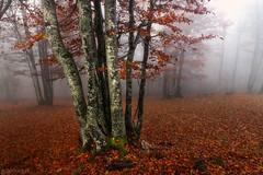 Trees - Weissenstein (Captures.ch) Tags: aufnahme capture nebel fog morgen morning tag day autumn fall foliage herbst swiss schweiz solothurn weissenstein tree stone stein landschaft landscape buche forest gras beech