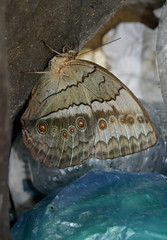 Butterfly in Trash Can (cowyeow) Tags: vietnam cucphuong cúcphương asia asian nature nationalpark insect insects wildlife butterfly trash filth garbage dirty bugs bin large travel blue butterflies lepidoptera