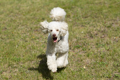 Alfie (louisa_catlover) Tags: dog portrait running action poodle white miniature alfie outdoor grass garden mountwilson nsw australia
