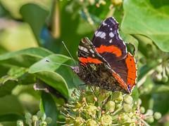 Red admiral (mikedoylepics) Tags: swan trumpeterswan butterly redadmiral wwtarundel wwt arundelwildlifewetlandstrust arundelwwt wildlife sussex westsussex
