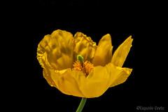 Papavero giallo - Yellow poppy (Eugenio GV Costa) Tags: approvato yellow poppy macro piccoli fiori small hidden flowers flower hides fiore papaveri